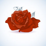 Red rose design Royalty Free Stock Photography