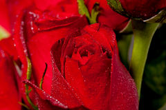 Red Rose Detail Royalty Free Stock Images