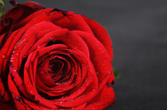 Red rose detail Royalty Free Stock Photography