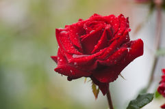 Red rose with dew Royalty Free Stock Images