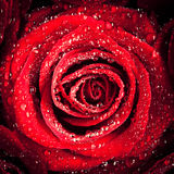 Red Rose with Dew Royalty Free Stock Photography