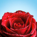 Red Rose with Dew Royalty Free Stock Photo