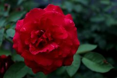 Red rose with dew drops. Close-up. stock photo