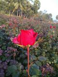 Red Rose. With dew drops in a field in an Indian village stock photography