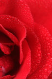 Red Rose with Dew Drops Macro Stock Image
