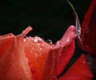Red rose with dew Stock Photography
