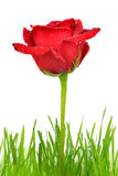 Red rose with dewy green grass Stock Image