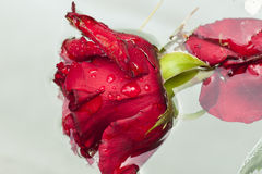 Red rose dipped in water. Stock Photography