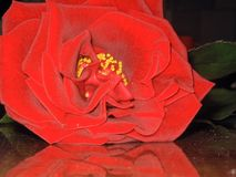 Red Rose is displayed on the table. Blossoming bud of red rose is displayed on the writing table Royalty Free Stock Photos