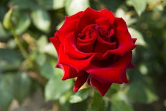 Red rose, double flower heart Stock Image