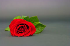 Red rose on a drey background Stock Photography