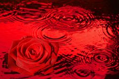 Red rose in dripping red water stock photography