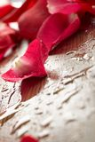 Red rose, drop water Royalty Free Stock Images