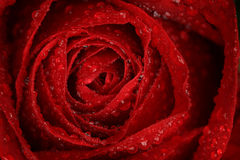 Red Rose with droplets Royalty Free Stock Photos
