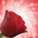 Red rose with droplets and circular background Stock Image