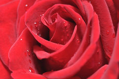 Red rose and droplets Royalty Free Stock Photo