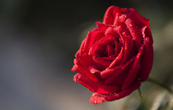 Red rose with droplets. A close view of misty red rose with blurry background Royalty Free Stock Photos