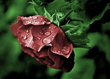 Red rose with droplets on green background royalty free stock images
