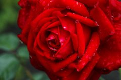 Red rose after a rain Royalty Free Stock Photo