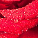 Red rose drops Stock Images