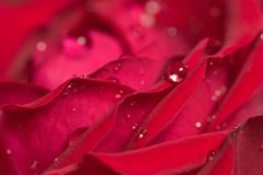 Red rose in drops Royalty Free Stock Photography