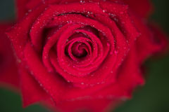 Red rose and drops Royalty Free Stock Image