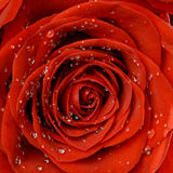 Red rose in drops closeup in bloom Royalty Free Stock Photos