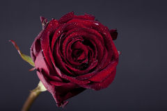 Red  Rose and drops on the dark background Royalty Free Stock Photo