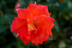 Red rose in drops of dew. A large bud of red rose in drops of morning dew stock photos