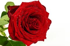 Red rose with drops of dew on a white stock photography