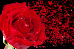 Red rose with drops and disintegration effect particles on black background, holiday valentine day and love. Concept Royalty Free Stock Photography