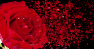Red rose with drops and disintegration effect particles on black background, holiday valentine day and love stock video footage