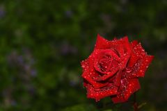 Red rose with drops Royalty Free Stock Photo