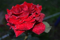 Red rose. With drops of morning dew royalty free stock photo