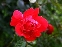 Red rose with drops. Red rose with morning drops on the garden Royalty Free Stock Photos