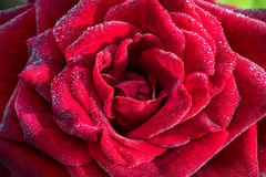 Red rose with drops on petals Stock Photography