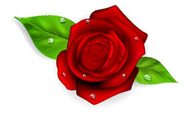 Red rose with drops. Red rose with two green leaves and dew drops Royalty Free Stock Photography
