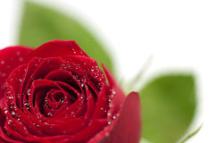 Red rose with drops of water Stock Photography