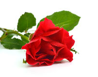 Red rose with drops of water Royalty Free Stock Photography