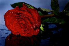 Red rose in drops of water Royalty Free Stock Images