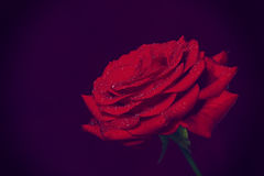 Red rose with drops of water Royalty Free Stock Image