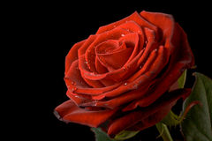 Red rose with drops of water on black background Stock Image