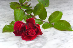 Red rose with drops of water on a marble table Royalty Free Stock Photo