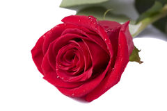 Red rose with drops on white Royalty Free Stock Images