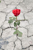 Red rose in dry earth. Red rose growing in dry soil stock images