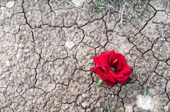 Red rose on dry mud with cracks Royalty Free Stock Photography