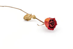 Red rose dry. Royalty Free Stock Images