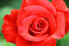 Red rose. Rose on the early morning Stock Images