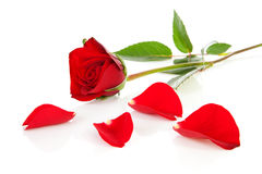 Red rose with fallen leaves Stock Images