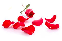 Red rose with fallen petals isolated Stock Photo